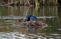 Black Heron - Marievale Bird Sanctuary