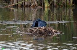 Black Heron - Marievale Bird Sanctuary