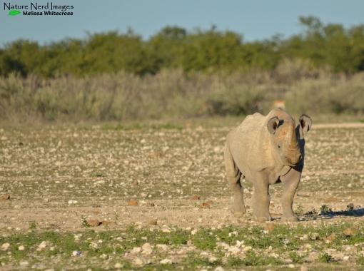 Black rhino at Gemsbokvlaagte