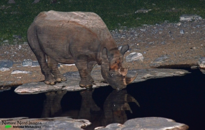 Black rhino at the waterhole