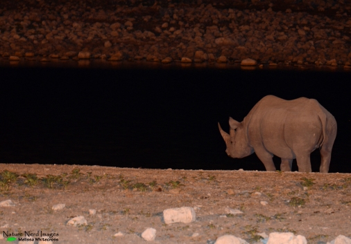 Black rhino surverying the waterhole