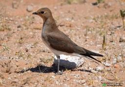 Black-winged pratincole