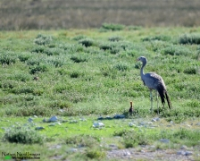 Blue crane with chick