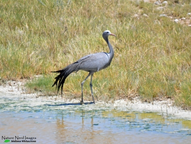 Blue crane at a pan