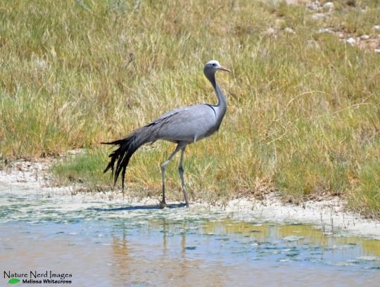 Blue crane at a pan