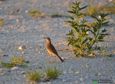 Buffy pipit on runway