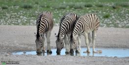 Zebras at Rietfontein