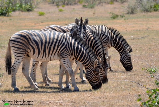 Zebra's looking for good grazing