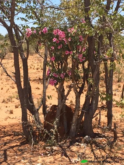 Bushman's poison plant