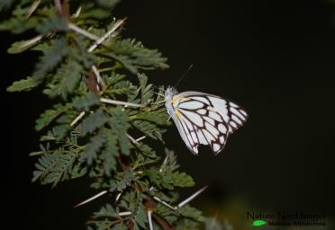 I mean butterflies