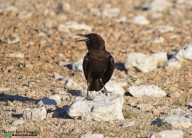 Cape crow at Gemsbokvlaagte