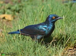 Cape glossy starling at the camp