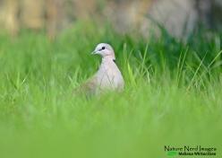 Cape turtle dove on our lawn