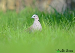 Cape turtle dove on our lawn