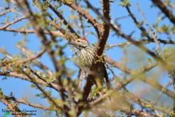 Cardinal woodpecker keeping an eye on us
