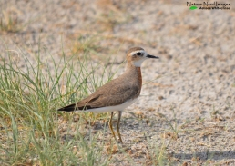 Caspian plover refusing to show us his chest!