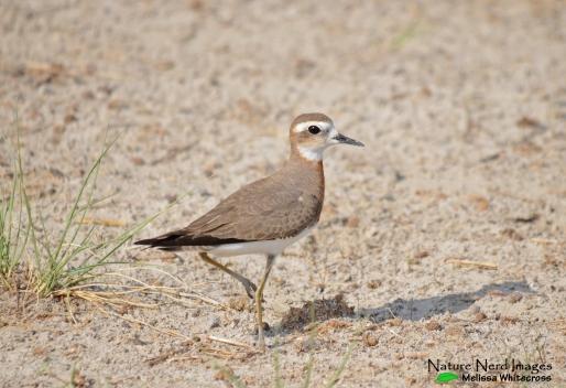 Caspian Plover - Andoni Plains, Etosha, Namibia