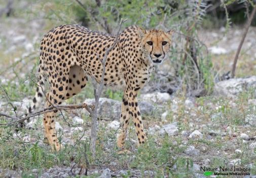 Cheetah 2 - Namutoni, Etosha, Namibia