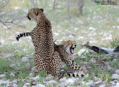 Cheetah and cub 3 - Namutoni, Etosha, Namibia