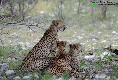 Cheetah and cubs 2 - Namutoni, Etosha, Namibia