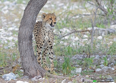 Cheetah cub 2 - Namutoni, Etosha, Namibia