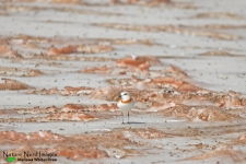 Chestnut-banded plover on a late-stage salt pan