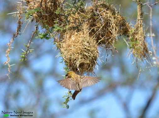 Chestnut Weaver - On route to Toko Lodge, Namibia