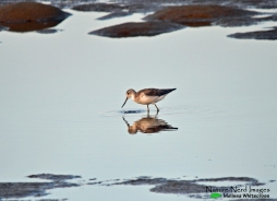 Common greenshank walking across the mud