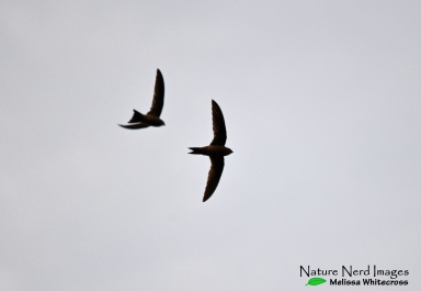 Sorting out swifts