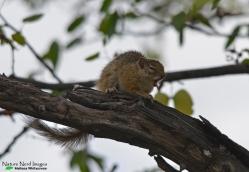 Common Tree Squirrel 1 - Halali, Etosha, Namibia