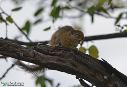 Common Tree Squirrel 1 - Halali, Etosha, Namibia