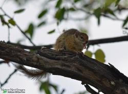 Yawning tree squirrel