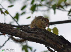 Yawning tree squirrel