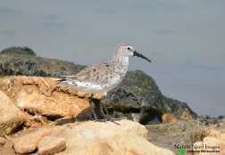 Curlew sandpiper surveying the saltworks