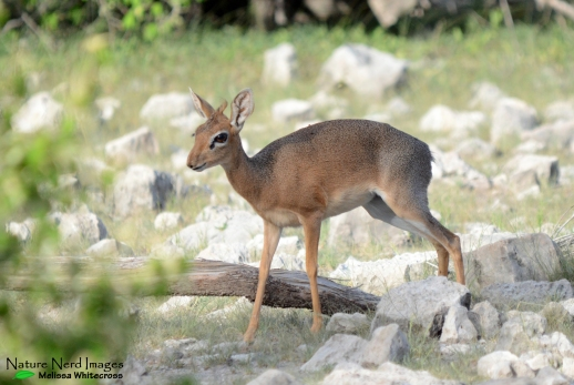 Damara dik-dik female