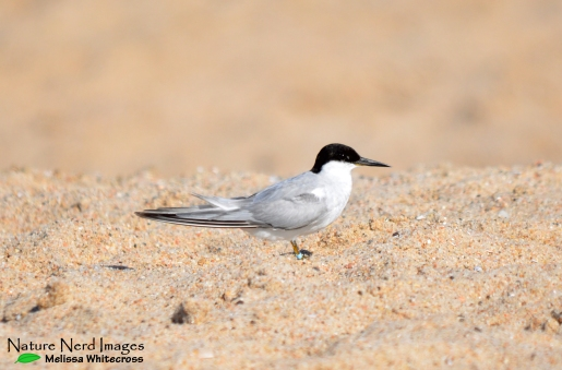 Damara tern at our last beach pond