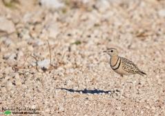 Double-banded Courser - Okaukujeo, Etosha, Namibia