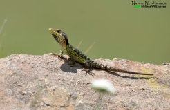 Drakensberg crag lizard, another endemic