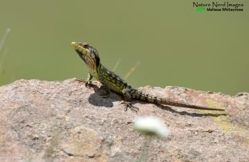 Drakensberg crag lizard, another endemic