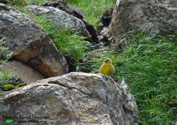 Drakensberg siskin at the top