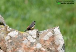 A female Drakensberg rockjumper