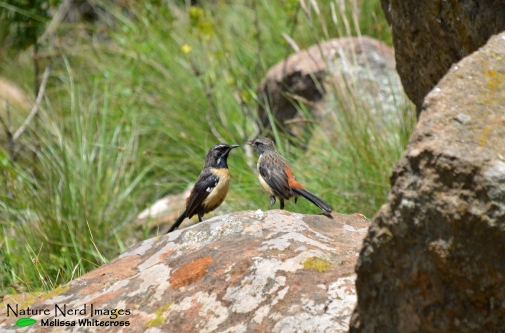 Female (left) and male (right) rockjumpers