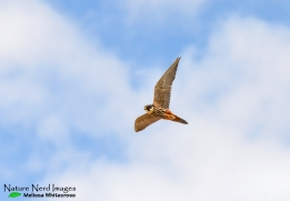 The gorgeous Eurasian hobby