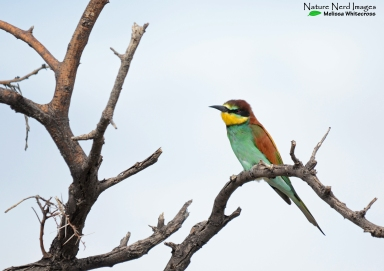 The migratory European bee-eater