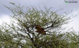 Flying honey-buzzard