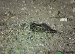 Pre-capture nightjar
