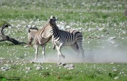 Fighting zebra