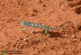 A slow flap-necked chameleon