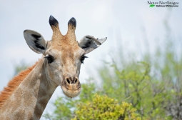 Look at the eye lashes on the giraffe