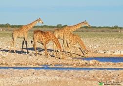 Gorgeous herd of giraffe